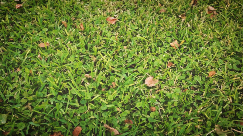 summer-maintenance-tips-for-your-zoysia